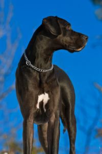 Black Great Dane