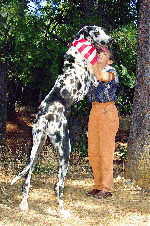 Get the facts about Great Danes before committing to ownership