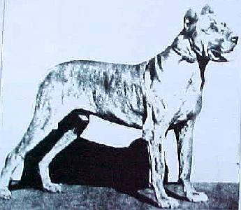German champion Great Dane 1882