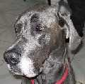 Great Dane with natural ears
