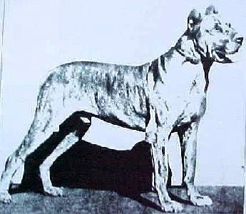 German champion Great Dane 1882